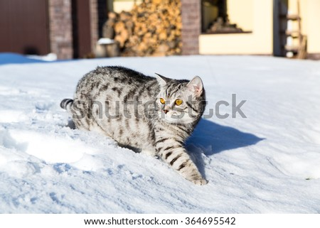 Cat on snow, winter, back yard - stock photo