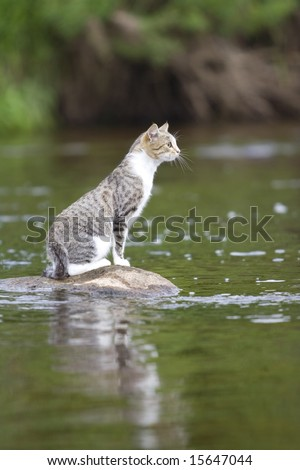 cat on stone in the middle of a river - stock photo