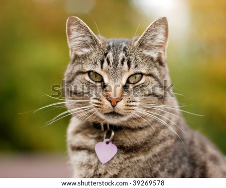 Cat outside with a Fall color background. Tight depth of field, highlighting the cat's eyes and nose area. The cat also has on a collar and a very obvious tag. - stock photo