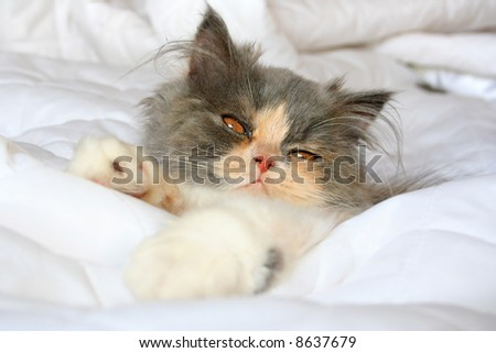 cat persian - stock photo