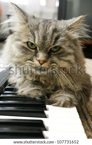 cat pianist - stock photo