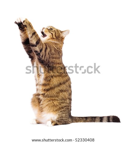 Cat playing, meowing, catching. Isolated on white