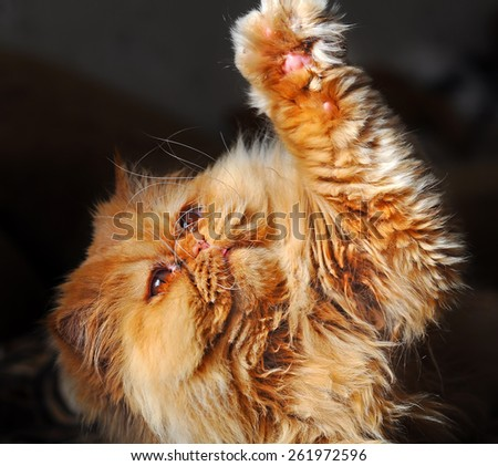 Cat plays and pulled out a paw. ?at paw raised up - stock photo