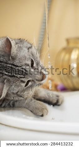 Cat portrait close up, cat drinking water in the bathroom, wet cat, cat playing with water in the bathroom, cat playing with water, cat head, funny cat - stock photo