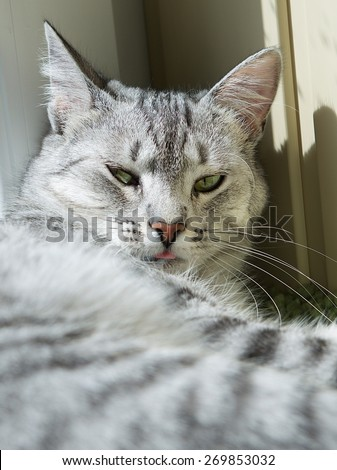 Cat portrait close up, only head crop, cat with pleading stare at the viewer with space for advertising and text, cat head, resting cat - stock photo
