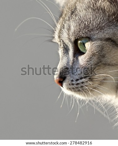 Cat portrait close up, only head crop, looking down, cat in light brown and cream looking with pleading stare at the viewer with space for advertising and text, cat head - stock photo