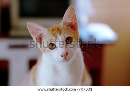Cat portrait - indoor - stock photo
