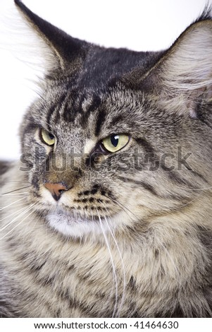 Cat portrait, Main coon