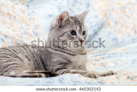 Cat, resting cat on a sofa close up, young playful kitten on a bed, relaxing animal, elegant pet - stock photo