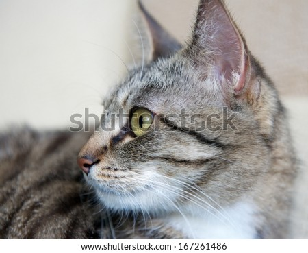 Cat, resting cute funny cat close up, small domestic cat, selective focus to the face, Cat portrait close up, only head crop, cat in light brown and cream background,cat head - stock photo