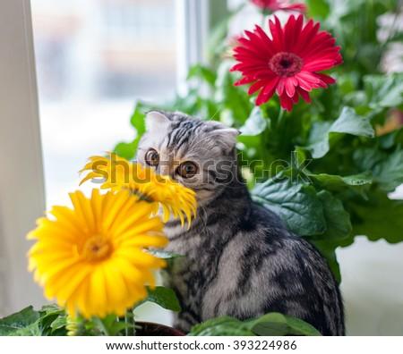 Cat Scottish breed. Gerbera flowers. - stock photo