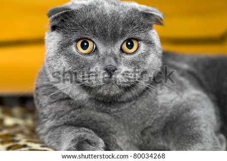 cat Scottish lop-eared grey - stock photo