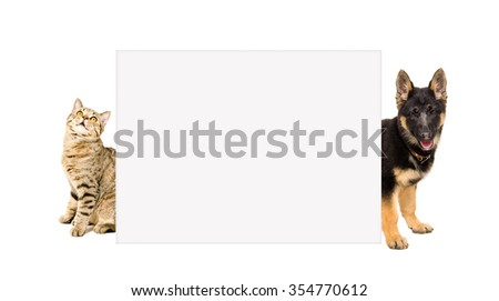 Cat Scottish Straight and a German Shepherd puppy peeks out from behind a banner isolated on white background - stock photo