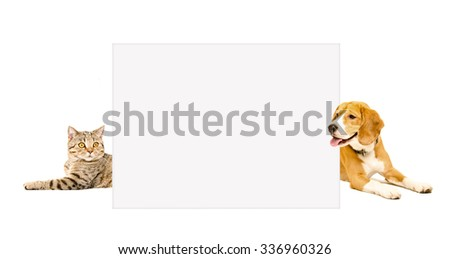 Cat Scottish Straight and Beagle dog peeking  from behind banner, isolated on white background - stock photo