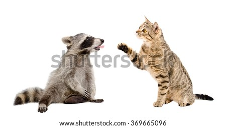 Cat Scottish Straight and raccoon showing tongue isolated on white background