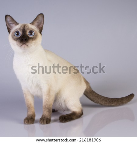 cat Siamese color, blue eyes. - stock photo