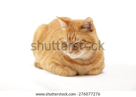 cat sit in the loaf pose on white background  - stock photo