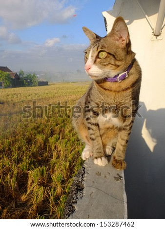 Cat sitting on a wall looking at a rice field. - stock photo