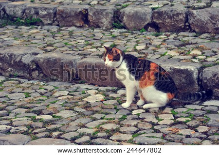 Cat sitting on the cobblestone road in Italy. Collar cat sitting on the road.  - stock photo
