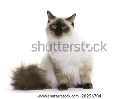Cat sitting, Ragdoll - stock photo