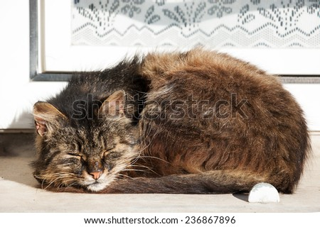Cat sleeping on a windowsill of an old rural house with lace curtain decorating the window. - stock photo