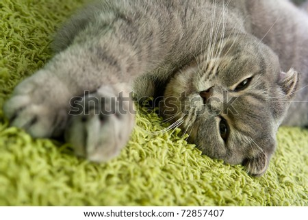 cat sleeps on the carpet at home - stock photo
