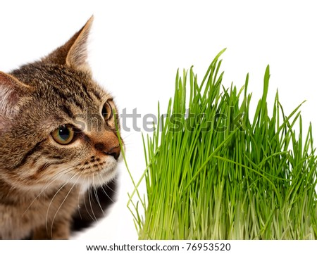 Cat smelling a green grass on white background
