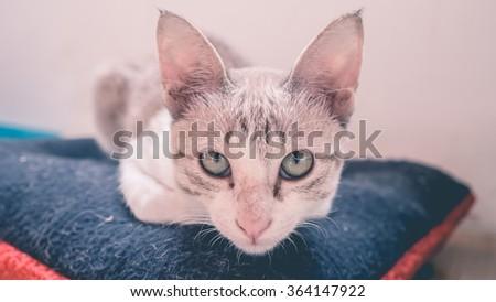Cat squat on dark blue pillow. - stock photo