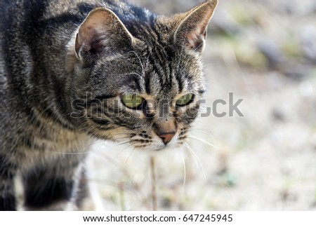 Cat Stalking Prey From Behind