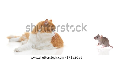 Cat staring at a mouse isolated on white - stock photo