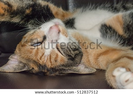 cat tortoiseshell sleep