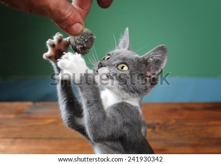Cat tries to catch plush mouse out of hand - stock photo