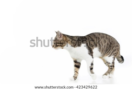 Cat  walking and looking to camera isolated on white background. - stock photo