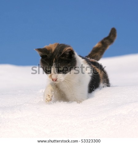 Cat, walking in snow, against blue sky - stock photo