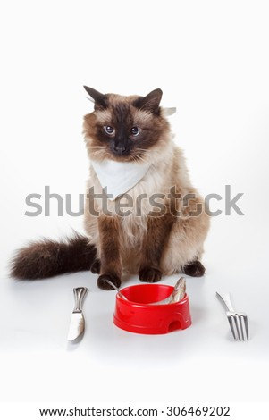 Cat with blue eyes are ready to eat tasty fish on a plate with a knife and fork. Humor Cute Cross-eyed Balinese - stock photo