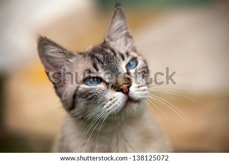 cat with blue eyes, soft focus, close-up