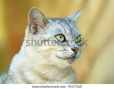 cat with extremely beautiful eyes - stock photo