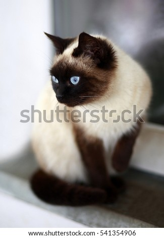 cat with eyes blue