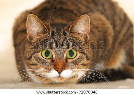cat with green eyes and a bewitching glance - stock photo
