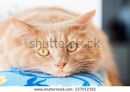 Cat with his head resting on the couch - stock photo