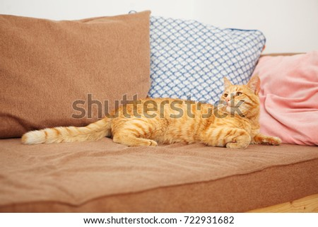 Cat with impudent look lies on sofa with pillows. Ginger striped feline looking away, smart home pet going to sleep