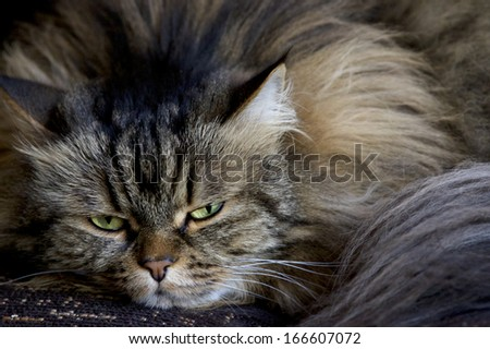 Cat with long hair and green eyes