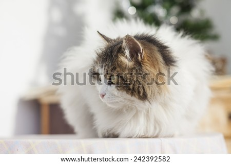 Cat with long hair on a table outside - stock photo