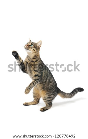 cat with the lifted paw - stock photo