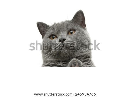 cat with yellow eyes sits behind a white banner and looking up. white background - horizontal photo. - stock photo