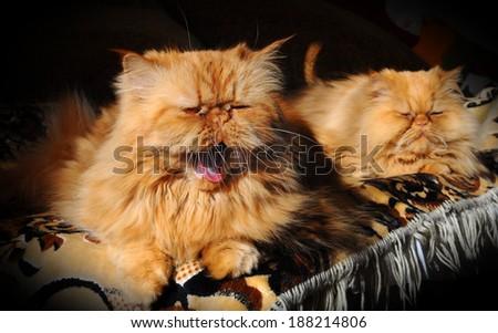 Cat yawns. - stock photo
