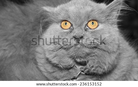 cat yellow eyes  beautiful color  black & white background