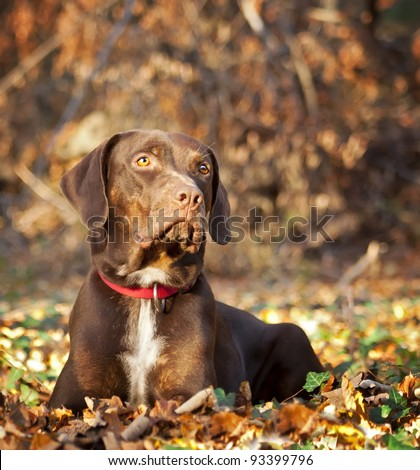 Catahoula Leopard Dog in Autumnal Wood - stock photo