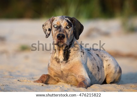 catahoula puppy with blue eyes lying down on a beach