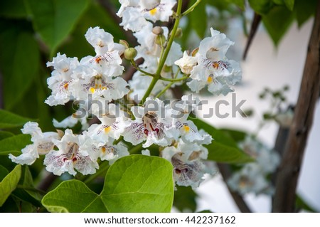 Catalpa flowers in hot and sultry summer day